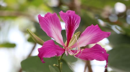 hong kong : Purple Bauhinia blakeana or Hong Kong orchid flower blossom on the tree. with large thick leaves and striking purplish red flowers.