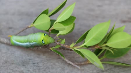 housenka : Time lapse Oleander hawk moth caterpillar  (Daphnis nerii, Sphingidae) creeping on the branch of tree on wooden floor.