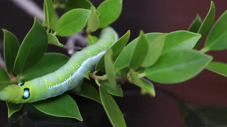 sas : Oleander hawk moth caterpillar  (Daphnis nerii, Sphingidae) creeping on the branch of tree with dark background.