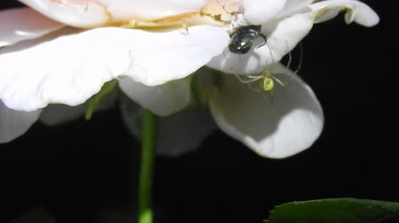 boxwood : Night video. Spider attacks insect closeup Stock Footage