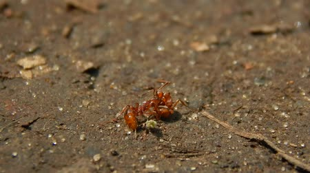 queen ant : Two red ants are fighting for survival. Two red ants are fighting for survival