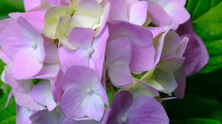 hortênsia : Beautiful bright inflorescence of garden flower hydrangea
