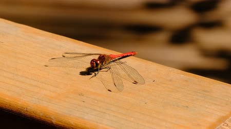 A dragonfly closeup sits on a wooden surface resting sunlit macro video