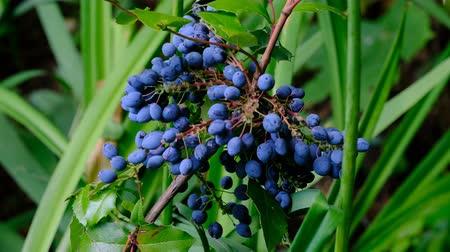 Ripening blue berries of holonia mahonia Stock Footage