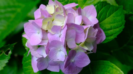 ortanca : Beautiful bright inflorescence of garden flower hydrangea