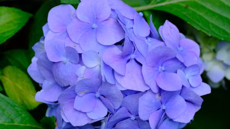 hortensia : Beautiful bright inflorescence of garden flower hydrangea