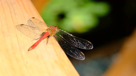 faceta : A dragonfly closeup sits on a wooden surface resting sunlit Vídeos