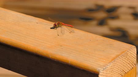 A dragonfly closeup sits on a wooden surface resting sunlit Stock Footage