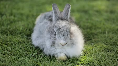 roedor : cute rabbit resting on the grass