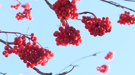 ягоды : Rowan berries frozen in the sky without clouds Стоковые видеозаписи