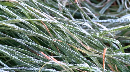 мороз : green grass under the frost