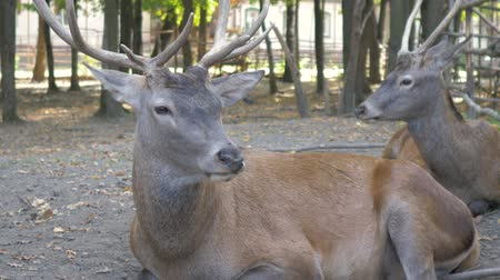 лань : Deer resting in the paddock in the Park Стоковые видеозаписи