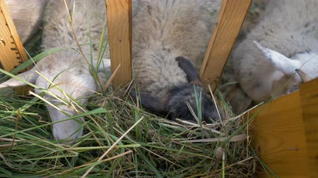 hoof : Small sheep and goats eat grass from the trough in the paddock