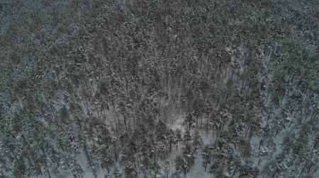 avusturya : The camera flies over the treetops in a snowy forest. Snow falls. 4K Stok Video