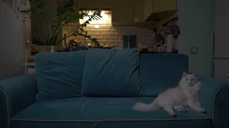 embarrassed : White cat lying on the couch in the evening with the kitchen in the background. Concept: loneliness, relaxation, rest, waiting. 4K