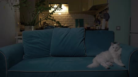 göz kamaştırıcı : White cat lying on the couch in the evening with the kitchen in the background. Concept: loneliness, relaxation, rest, waiting. 4K