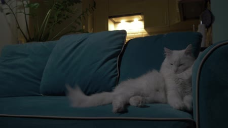 pelyhes : White cat lying on the couch in the evening with the kitchen in the background. Concept: loneliness, relaxation, rest, waiting. 4K