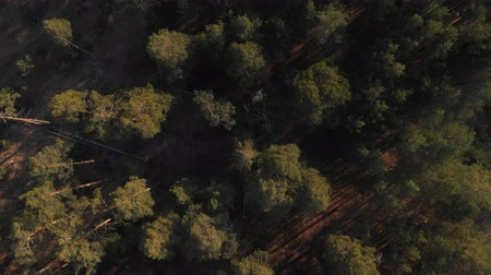 вертикально : Pine forest top-down view. Flying over a rare pine forest with the camera lowered vertically down