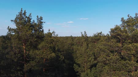 pokrývka hlavy : The camera takes off from the thick pine forest and flies up past the tops of the trees. The camera takes off from the thick of the forest and rises above the trees