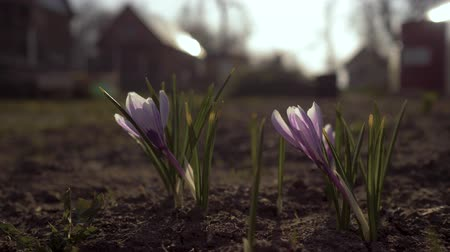 kankalin : The first spring flowers in the garden. Snowdrops on the background of the garden. 4K