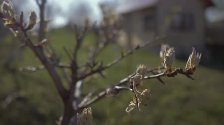 estames : Beautiful buds and the first sheets of pear tree in the garden close-up. 4K