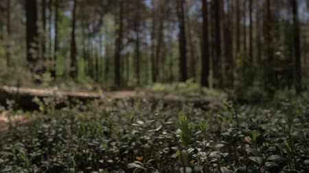 overlooks : The camera moves forward over the thick grass in the pine forest. 4K