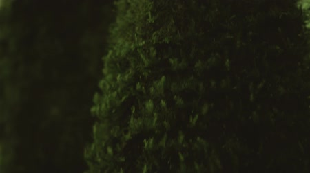 Tree Trunk Covered with Green With Moss. Close-up of a tree trunk covered with green moss. The camera moves from top to bottom