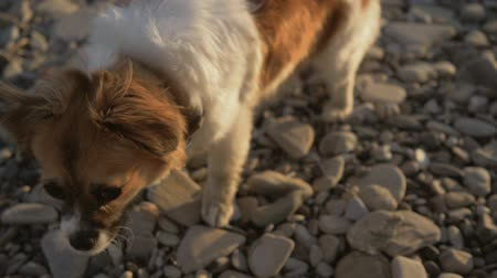 Close-up of little happy pet dog on rocky beach at sunset