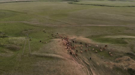A herd of cows and a shepherd go to pasture. Aerial view 4K