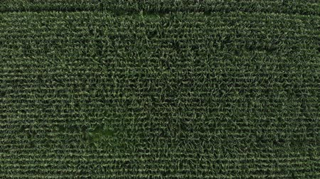 Aerial view of a green corn field. The camera flies up vertically above the corn field Vídeos