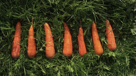 fennel : Fresh carrots lying on the green grass. Fresh crop