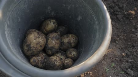 Potatoes fall into a bucket. A man is harvesting potatoes. Growing potatoes. A man digs up potatoes with a spade. Vídeos