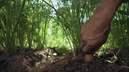 Man pulls carrots out of the ground. Slow motion Vídeos
