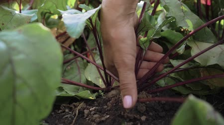 man pulls beets out of the ground. Slow motion