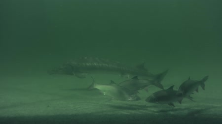 Underwater footage of big European catfish from the beautiful lake