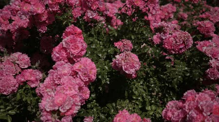 Beautiful fresh roses in nature. Natural background, large inflorescence of roses on a garden bush. Bush of a rose of pink color