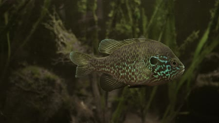 invasive : Lepomis gibbosus. Sunfish in their natural habitat. Underwater footage