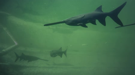 Paddlefish Polyodon spathula in their natural habitat. Underwater footage Vídeos