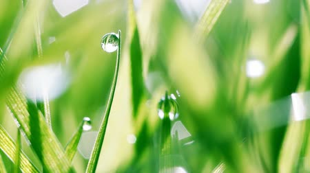 gota de orvalho : Macro shot of dew drops on green grass