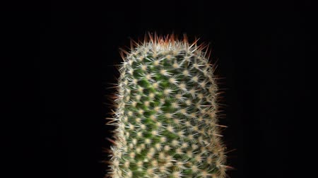 kaktusz : Cactus spinning on black background, seemless loop footage