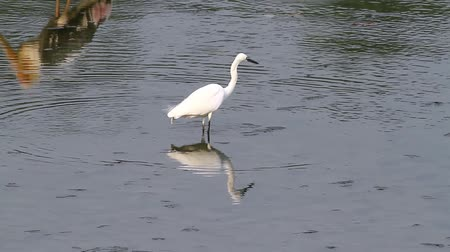 little egret : Egretta garzetta looking for fish in a muddy water of a pond Stock Footage