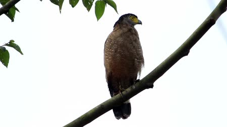 crested hawk eagle : Crested Serpent Eagle (Spilornis cheela)