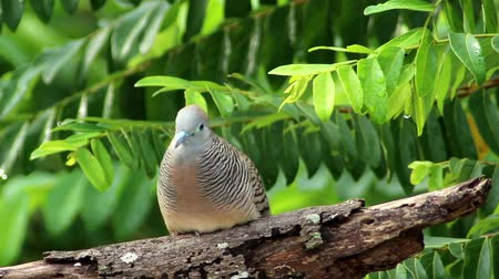 bird eye : Zebra Dove (Geopelia striata)
