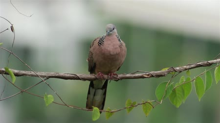 foltos : Spotted Dove 2