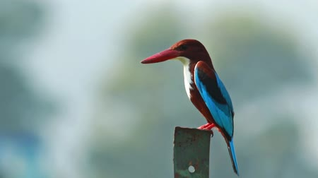 white collared kingfisher : White Throated Kingfisher