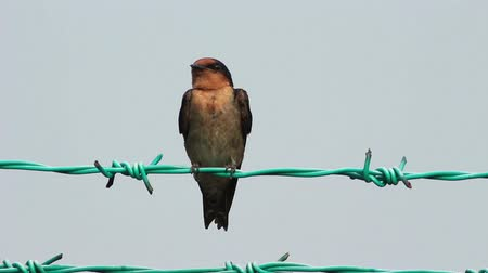animais : Swallow On Fence Wire 02