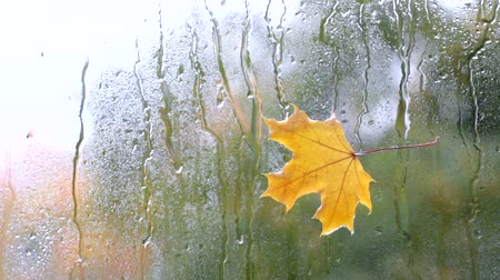 video footage yellow maple leaf stuck to the wet glass in the rain against the background window  autumn weather outside