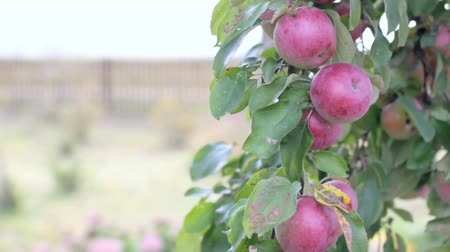 video footage apple branch with fruits swaying in the wind against the backdrop of a garden plot  harvest of ripe fruit Stock Footage
