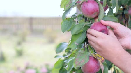 video footage gardener hands tear off ripe apple from the tree backdrop of a garden plot  time of harvest