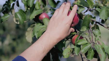 video footage picking apples in the garden